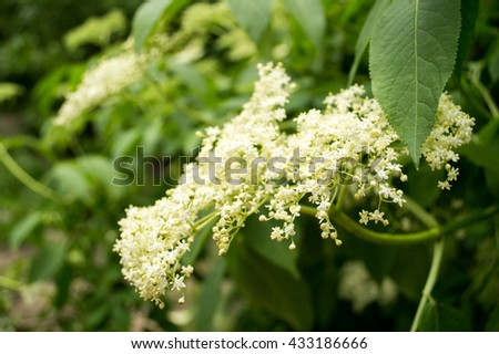 Elderberry Bush - stock photo
