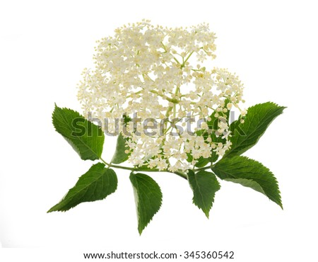 Elderberry flower on a white background - stock photo