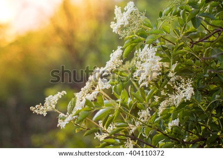 Elderberry Flowers on a Bush at Sunset in Summer - stock photo