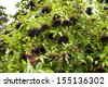 Elderberry fresh fruits clusters on plant and green lush foliage of shrub plant, berries are edible after cooking, photo taken in open air, horizontal orientation, nobody. - stock photo