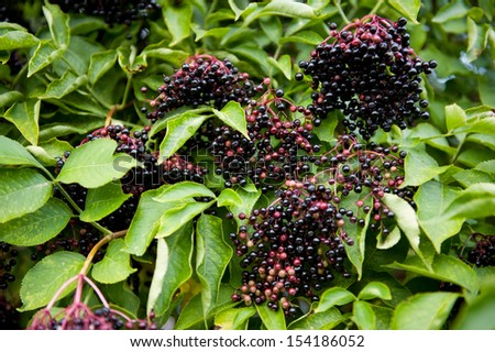 Elderberry fruits clusters sag on plant and green lush foliage of shrub plant, berries are edible after cooking, photo taken in open air, horizontal orientation, nobody. - stock photo