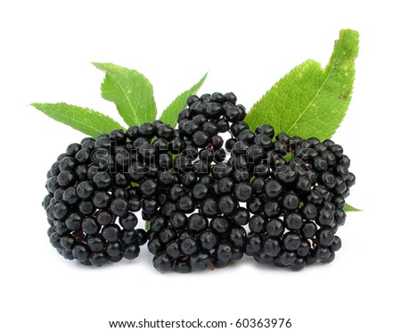 Elderberry Sambucus nigra - stock photo