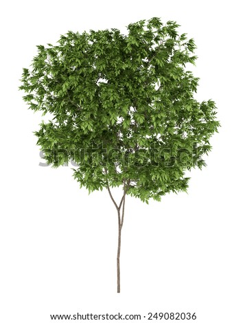 elderberry tree isolated on white background - stock photo