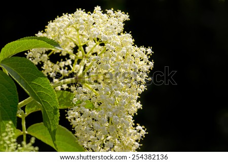 Elderflower in front of a black background. - stock photo