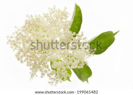 Elderflower on white background - stock photo