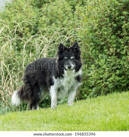 Elderly Border Collie - stock photo