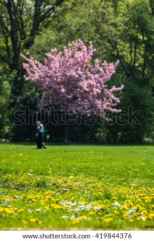 Elderly couple walking under blooming cherry tree in public gardens with dandelion flowers in the grass - stock photo