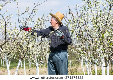 Elderly man in flowered plum orchard. Selective focus - stock photo