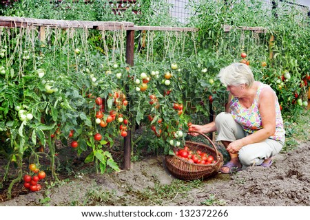 Elderly mistress of a kitchen garden received harvest of tomatoes - stock photo
