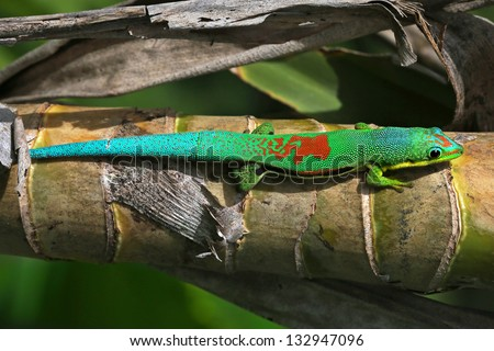 Electric neon colours! Lined Day Gecko (Phelsuma lineata) basks in the sun in Madagascar. Sunning or basking is how reptiles raise their body temperature. Bright blue, green, and red lizard. Amazing!