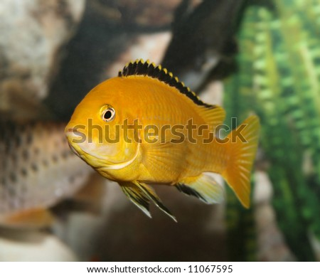 Electric yellow African cichlid.