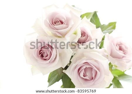 Elegance pastel purple roses on white background - stock photo