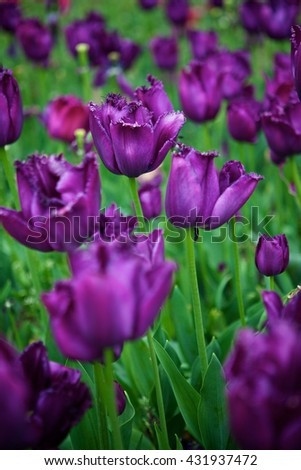 Elegant , beautiful , purple tulips with lace petals