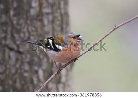 elegant bird is a male Chaffinch sings on the tree in spring - stock photo