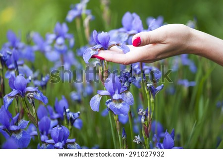 Elegant female hand with red nails touching one of many delicate blue violet iris flower growing in the field on natural backdrop, horizontal picture - stock photo