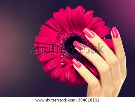 Elegant female hands with pink manicure on the nails . Beautiful fingers holding a  gerbera . - stock photo