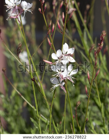 Elegant gaura species of Australian Butterfly Bush  with pink and white  flowers    adds cottage garden charm to an urban  street verge in spring  and summer. - stock photo