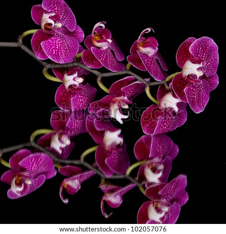 Elegant pink & white orchids isolated on black background with reflection - stock photo