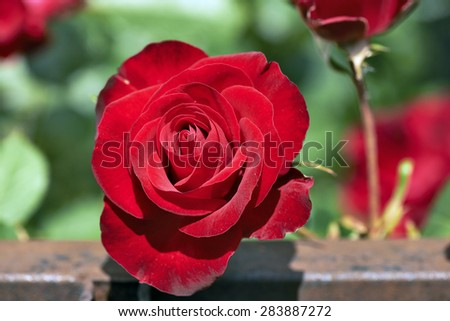 Elegant Red Rose in a natural green backround - stock photo