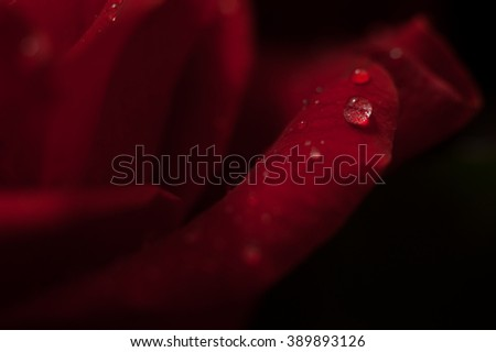 Elegant red rose macro. Velvet red petals with drops of water at the black background. Image with small depth of field. - stock photo