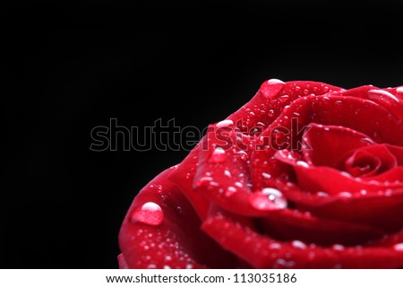 elegant red rose with water drop - stock photo