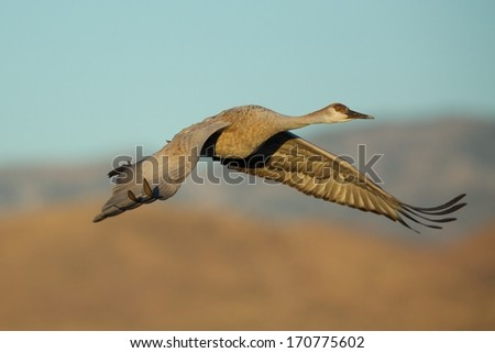 Elegant Sand Hill Crane - stock photo