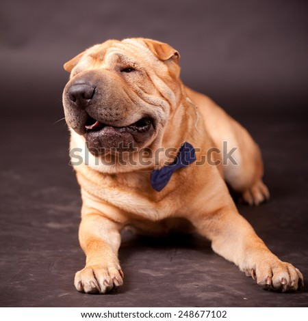 Elegant Sharpei dog in studio - stock photo
