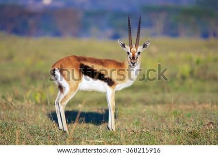 elegant thomson's gazelle at nakuru - stock photo