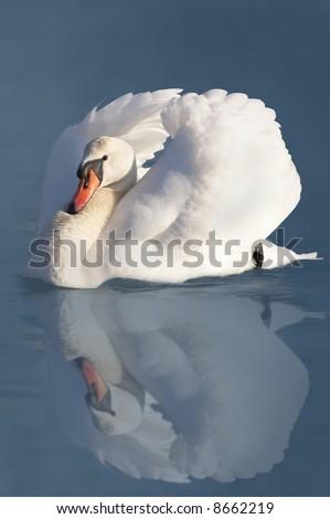Elegant white swan in a lake - stock photo