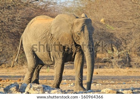 Elephant, African - Wildlife Background from Africa - A Tusk-less old cow wonders slowly over to a watering hole in the wilds of Africa.