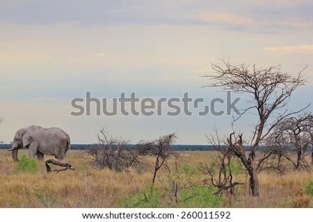 Elephant, African - Wildlife Background - Lonely Bull - stock photo