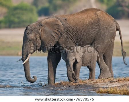 Elephant and calf trying to cross the Zambezi River  - stock photo