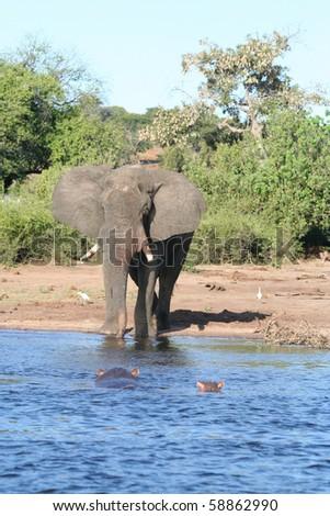 Elephant_and_Hippos_2 - stock photo