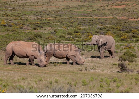 Elephant and rhino stand-off - stock photo