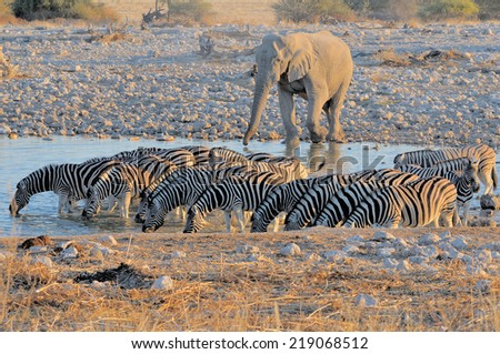 Elephant and zebras at Okaukeujo in the Etosha National Park, Namibia  - stock photo