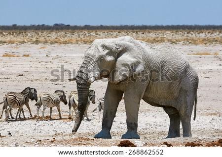 Elephant and zebras in Etosha National Park in Namibia - stock photo