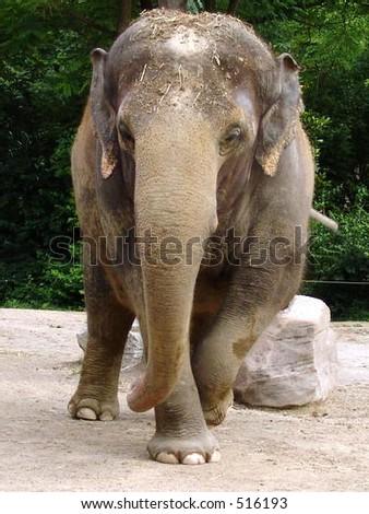 Elephant at the zoo - stock photo