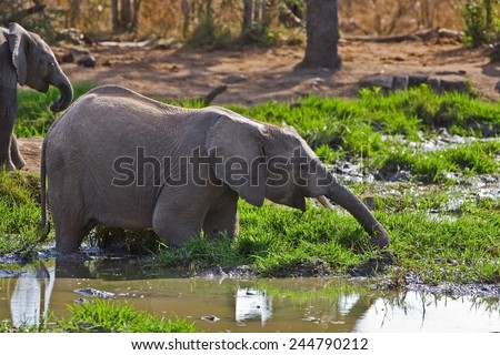 Elephant baby in the Hlane National Park, Swaziland - stock photo