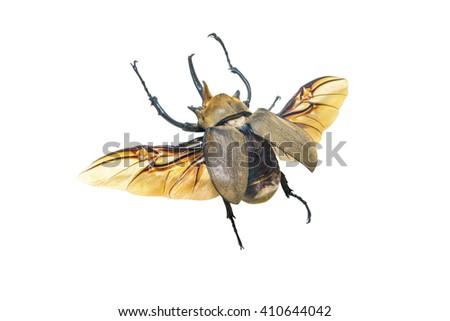 Elephant beetle, or megasoma elephant (lat. Megasoma elephas) - stock photo