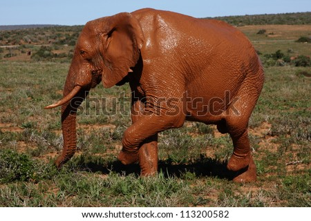 Elephant bull covered in red mud standing on both right legs. - stock photo