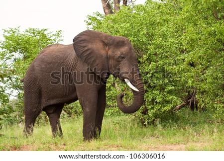 Elephant bull eating green leaves in the bush - stock photo