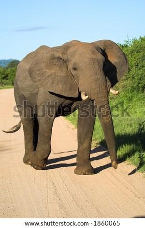 Elephant bull elephant walking down the road - stock photo