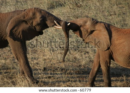 Elephant bull fight