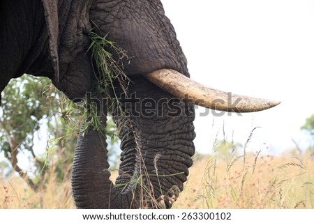 Elephant bull grazing.  Elephant tusk. - stock photo