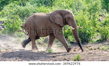 Elephant bull in a hurry