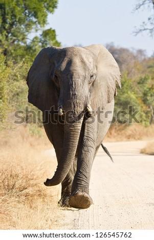 Elephant bull walking in nature road morning tusks - stock photo
