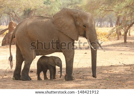 Elephant calf being shaded by mum - stock photo