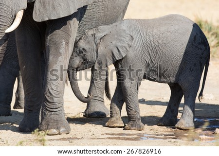 Elephant calf drinking water on a dry and hot day - stock photo