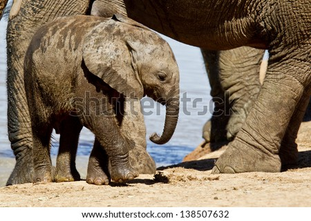 Elephant calf walking between its parents legs
