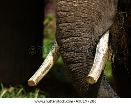 Elephant Close up Ivory and Clary - stock photo
